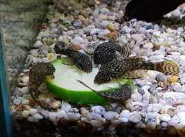 Juvenile (Ancistrus) bristlenose catfish.