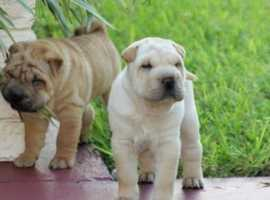 Exceptional Shar Pei Puppies for sale