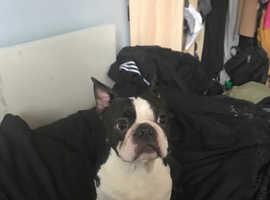Boston terrier stud only