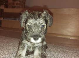 Miniature Schnauzer puppies for sale. KC registered.