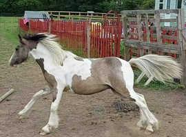 Buckskin Tobiano Pony