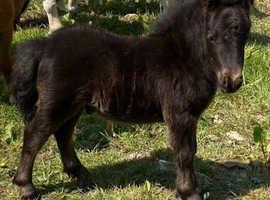 Show quality miniature Shetland colt foal