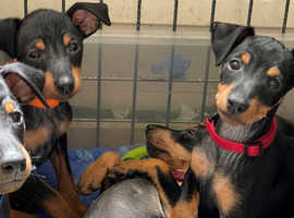 English Toy Terrier (black And Tan) Puppies