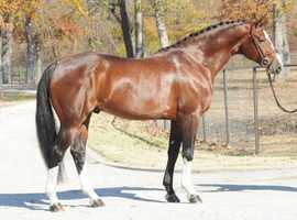 TALENTED HANOVERIAN GELDING FOR SALE