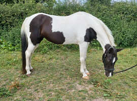 Registered Tennessee Walking Horse