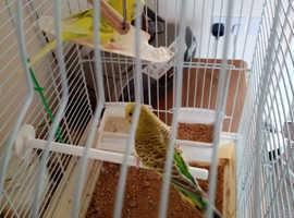 two budgies for sale due to ill health