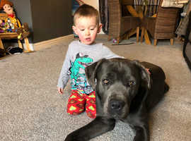 Blue male cane corso for stud
