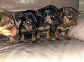 Mini dashound x mini jackrussell