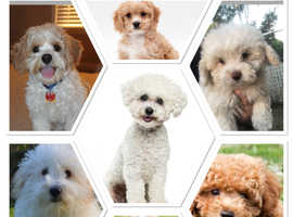 Bichon frise or Bichon X puppy or young dog
