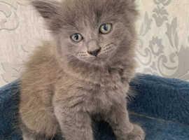 Beautiful Grey Domestic Kittens.