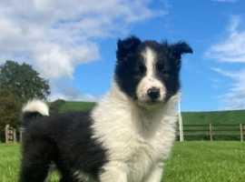 Rough Border Collie mix pups for sale