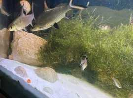 2 Silver Sharks For Sale