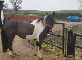 Beautiful 14hh coloured mare for sale