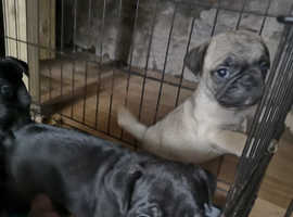 Frenchie cross pug puppies