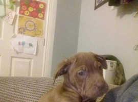 11 week old mastiff pup