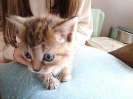 LOVELY PETITE GIRL TABBY  KITTEN LOOKING FOR HER FOREVER HOME