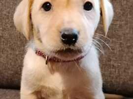 Labrador puppies KC