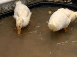 Two ducks needing a home