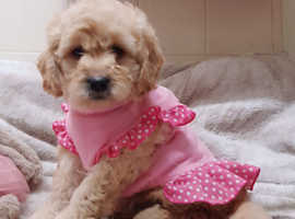 Adorable f1 Goldendoodles  female puppy