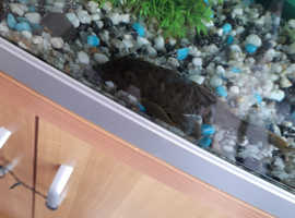 Fish cleaning Plec for sale