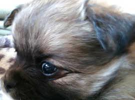 Beautiful little baby chug x pom