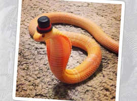 Snake wanted