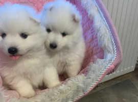 Japanese spitz pups