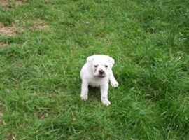 Old tri english bulldog puppy
