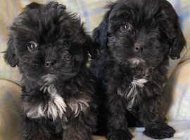 Shih tzu x minature poodle puppies