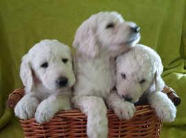 3 Stunning Labradoodle boy puppies
