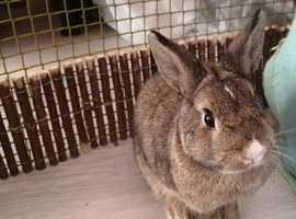 Pure Netherland Dwarf Rabbit 4 months, born & bred indoors.