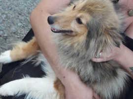 Sheltland sheepdog (sheltie)