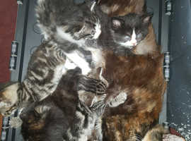 KITTENS FOR SALE SILVER GREY TABBYS BLACK AND MIXED 6 WEEKS OLD £250