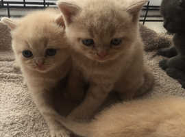 Bsh kittens ready to go