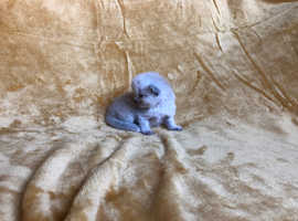 BEAUTIFUL BLUE POINT RAGDOLL BOY READY 13TH SEPTEMBER