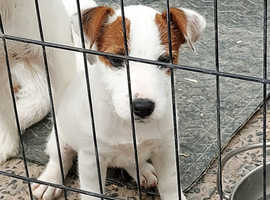 Parson Russell terrier pups