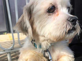REHOME - 3 year old Lhasa Apso x - Lizzy