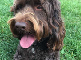 Adult Chocolate Cockapoo Wanted