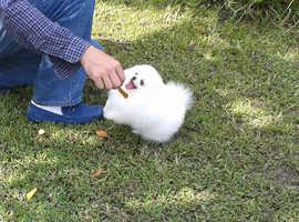Tiny purebred white pomeranian puppies