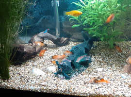 Tropical fish platys and a couple of Molly's