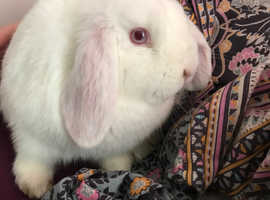 White rabbit for sale with cage