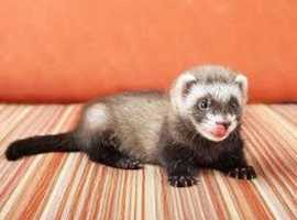 FERRET WANTED, ISLE OF MAN