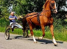Pure class KWPN eye catching mare