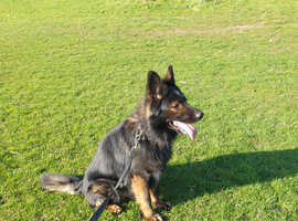 obidence trained male ,semi long coat sable male needs home