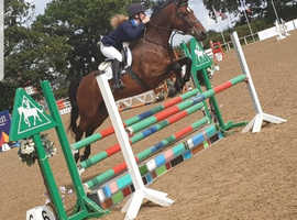 148 bay showjumping mare (RAMIRO Z breeding)