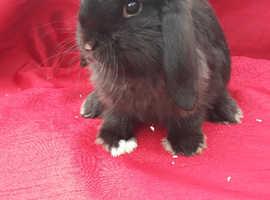 Male mini lop rabbits