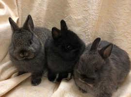 Netherland Dwarfs Rabbits