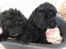 Teddy Bear, beddipoo puppies
