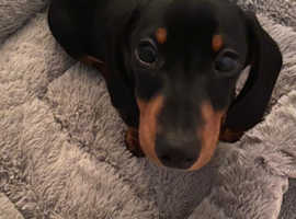 MISSING Mini Daschund black and Tan puppy possibly stolen
