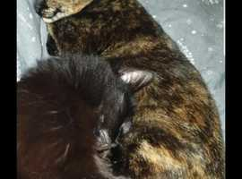 Scared tortoiseshell cat Bestsie missing for 7 days from Nicholas crescent fareham. Red collar
